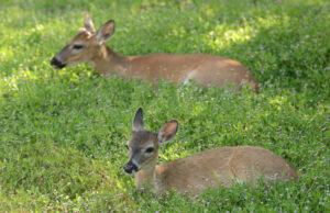 Key Deer on Big Pine Key Florida